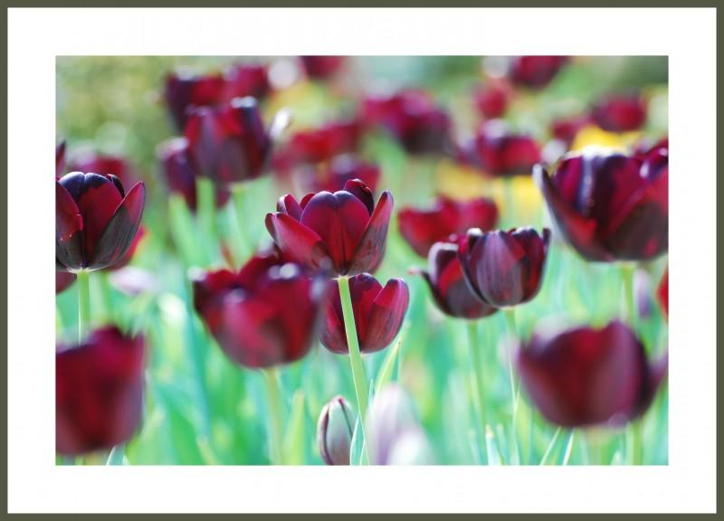Багетная фотокартина Бархатные тюльпаны