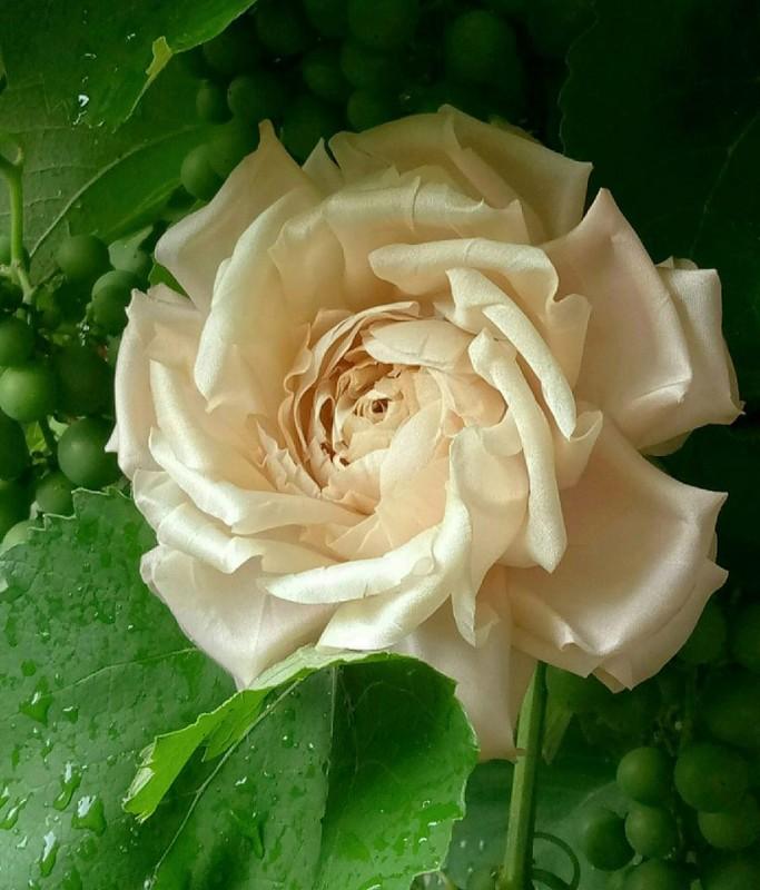 Брошь роза «Ванильная». Цветы из ткани