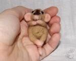 Ручной крысенок